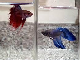 beta fish (1)