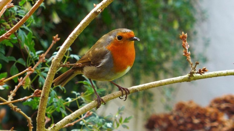 Steven-Padmore-Cheeky-Robin