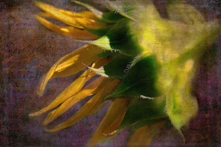 sunflower artwork by rebecca cook