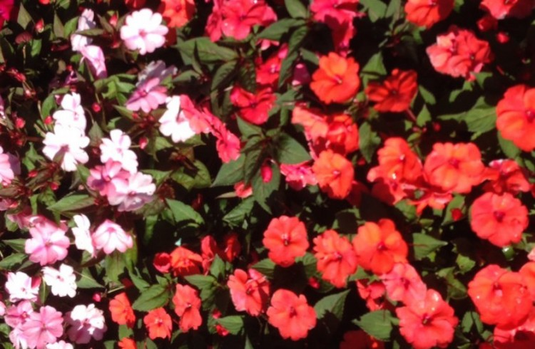 rows of light pink, dark pink and red flowers