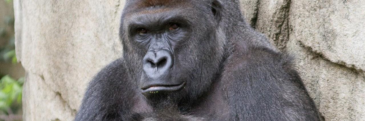 Harambe the gorilla.