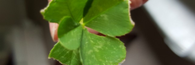 a five-leaf clover