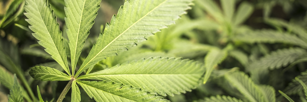 Marijuana garden with close up of big leaf