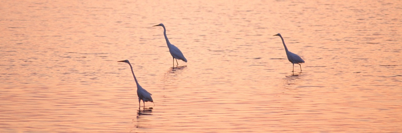 Egrets wading in the sea at sunset
