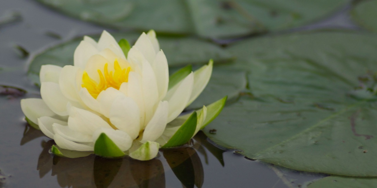 How Someone With Mental Illness Can Relate To A Lotus Flower The