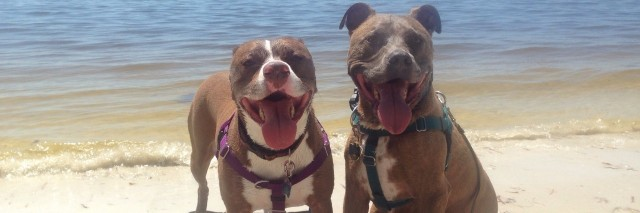 two pit bulls on the beach