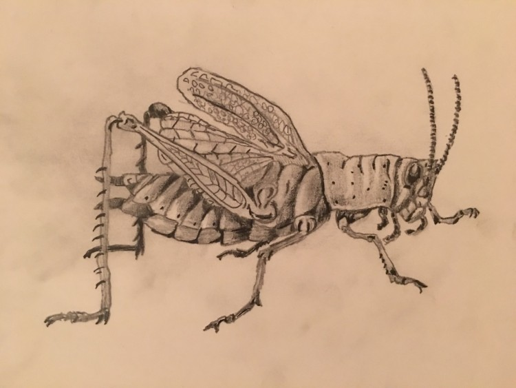 drawing of a grasshopper