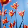 Tulip flowers against sky