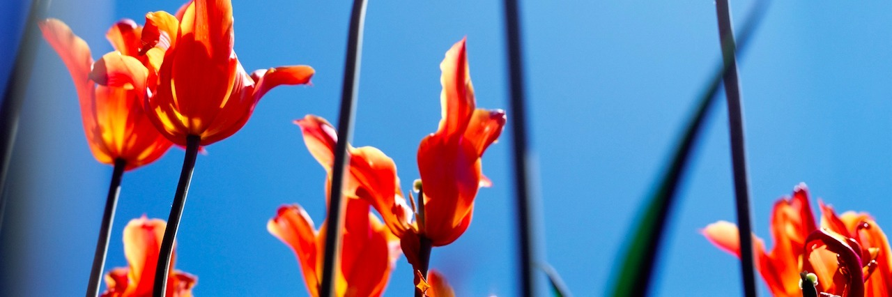 Tulip flowers against sky