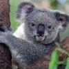 a koala staring from a tree