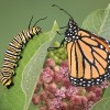 caterpillar and orange butterfly sitting on a leaf in front of pink flowers