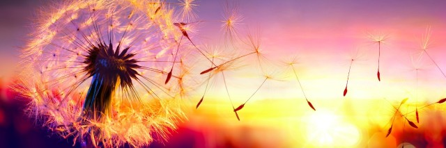 dandelion blowing into the sunset