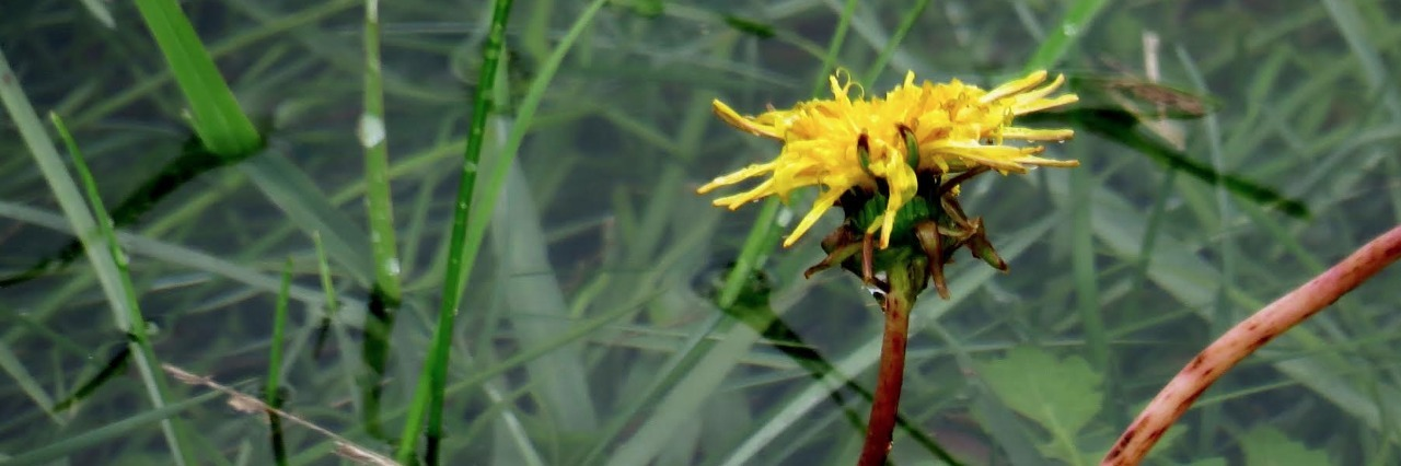 small yellow dandelion growing in a flooded field of grass