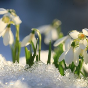 flowers blooming through the snow