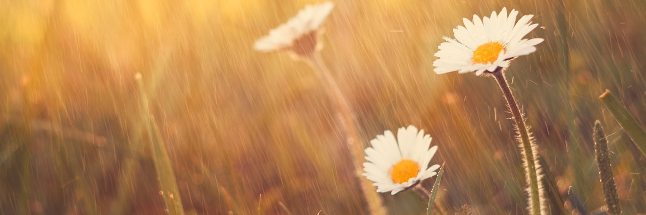 Daisy flower rain on spring meadow