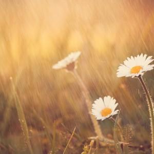 Daisy flower rain on spring meadow