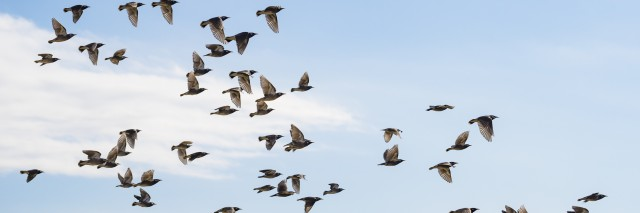Flock of white-cheeked starlings fly in the blue sky.