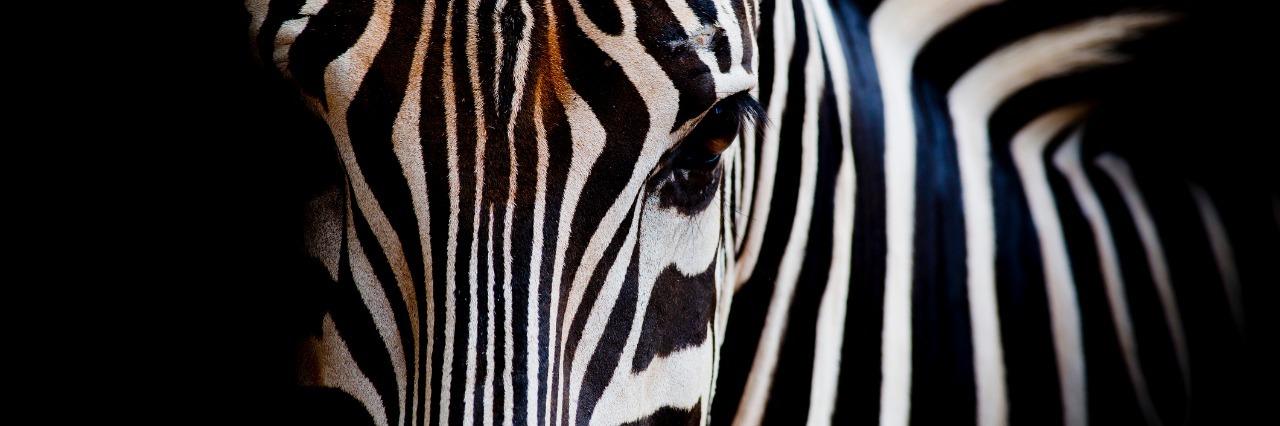 headshot of a zebra