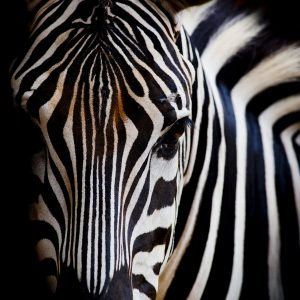 headshot of a zebra