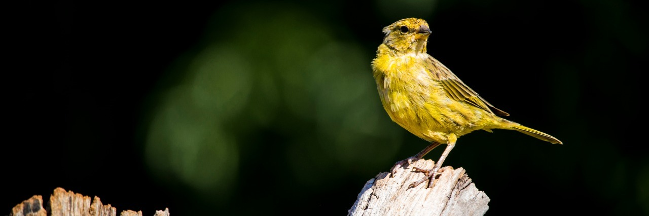 yellow canary perched on a tree branch