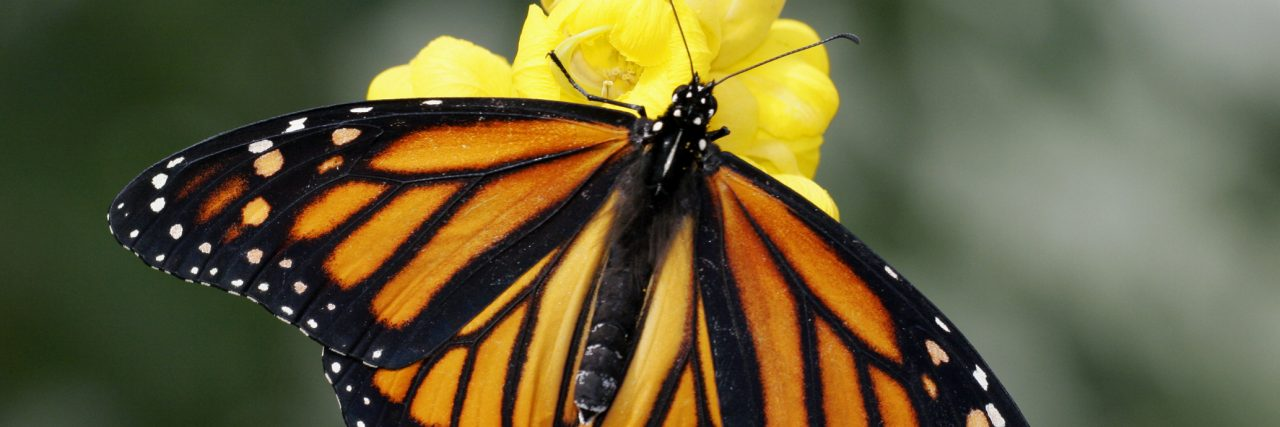 High angle view of a Monarch butterfly pollinating a flower (Danaus plexippus)