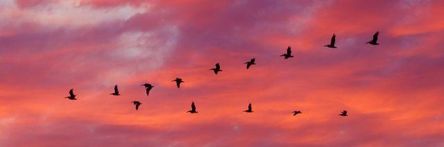 birds flying in a v-formation at sunset