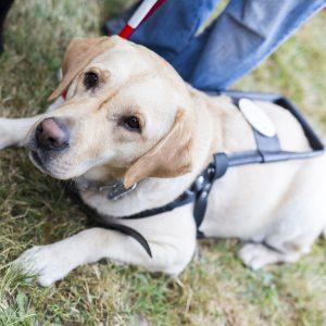 Labrador guide dog in harness.