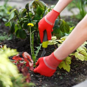 woman's hands holding gardening tools removing weed from soil