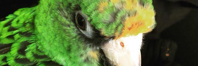 green parrot named ziggy