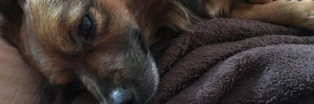 doxon the dachshund