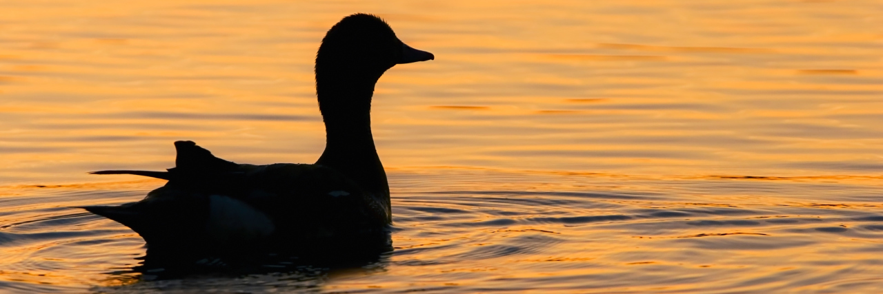 A duck floating on the water, reflecting the sunset.