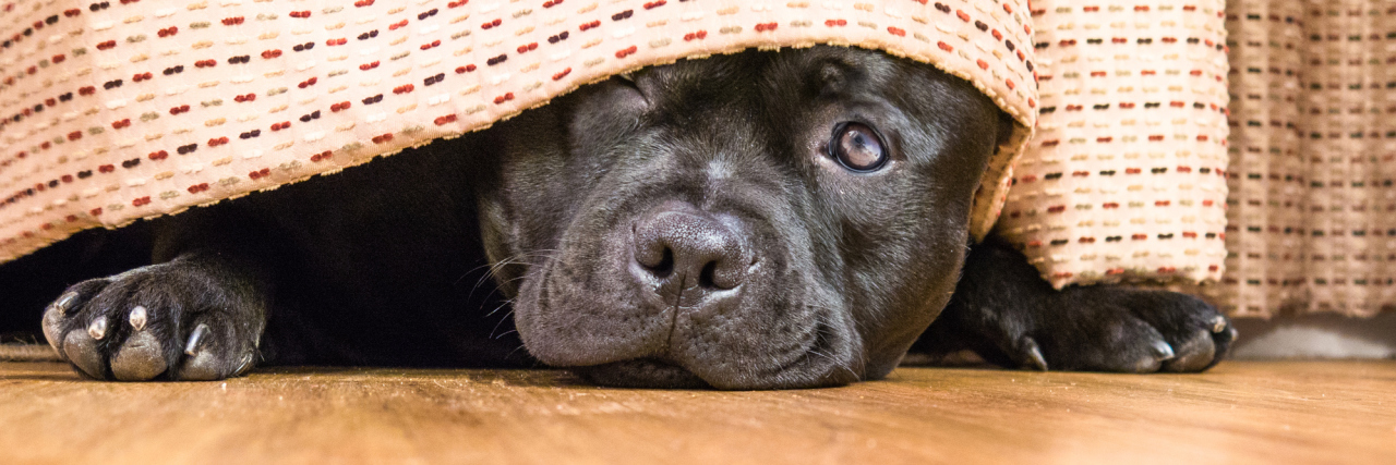 Cute, shy, Staffordshire Bull Terrier dog lying on a wood floor hiding under a curtain, drape, one open eye can be seen as he is peeking out.