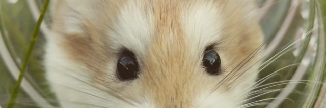hamster in tunnel looking at camera