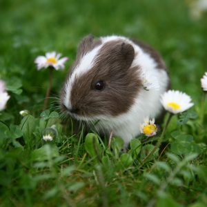 guinea pig in a field of daisies