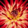 Beautiful red and yellow flower.