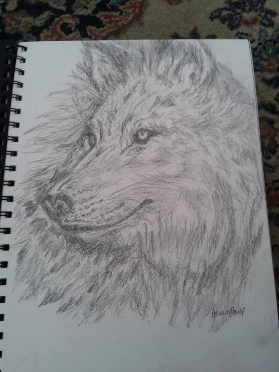 pencil drawing of dog or wolf by alysia M.