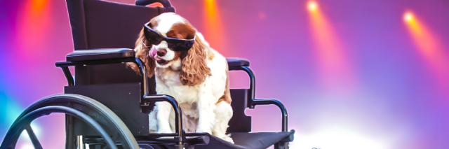 Cavalier King Charles Spaniel dog wearing sunglasses and riding in a wheelchair.