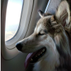Delta plane and dog on flight
