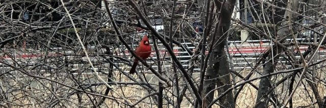 cardinal sitting in a tree
