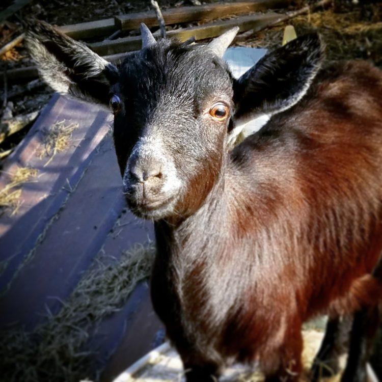 a goat inside a barn