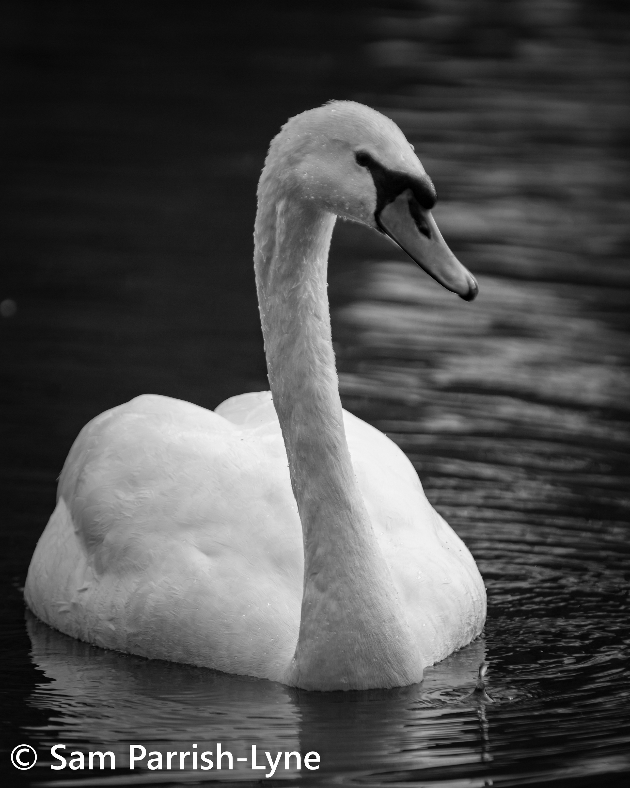 Swan, photo by Sam Parrish-Lyne.