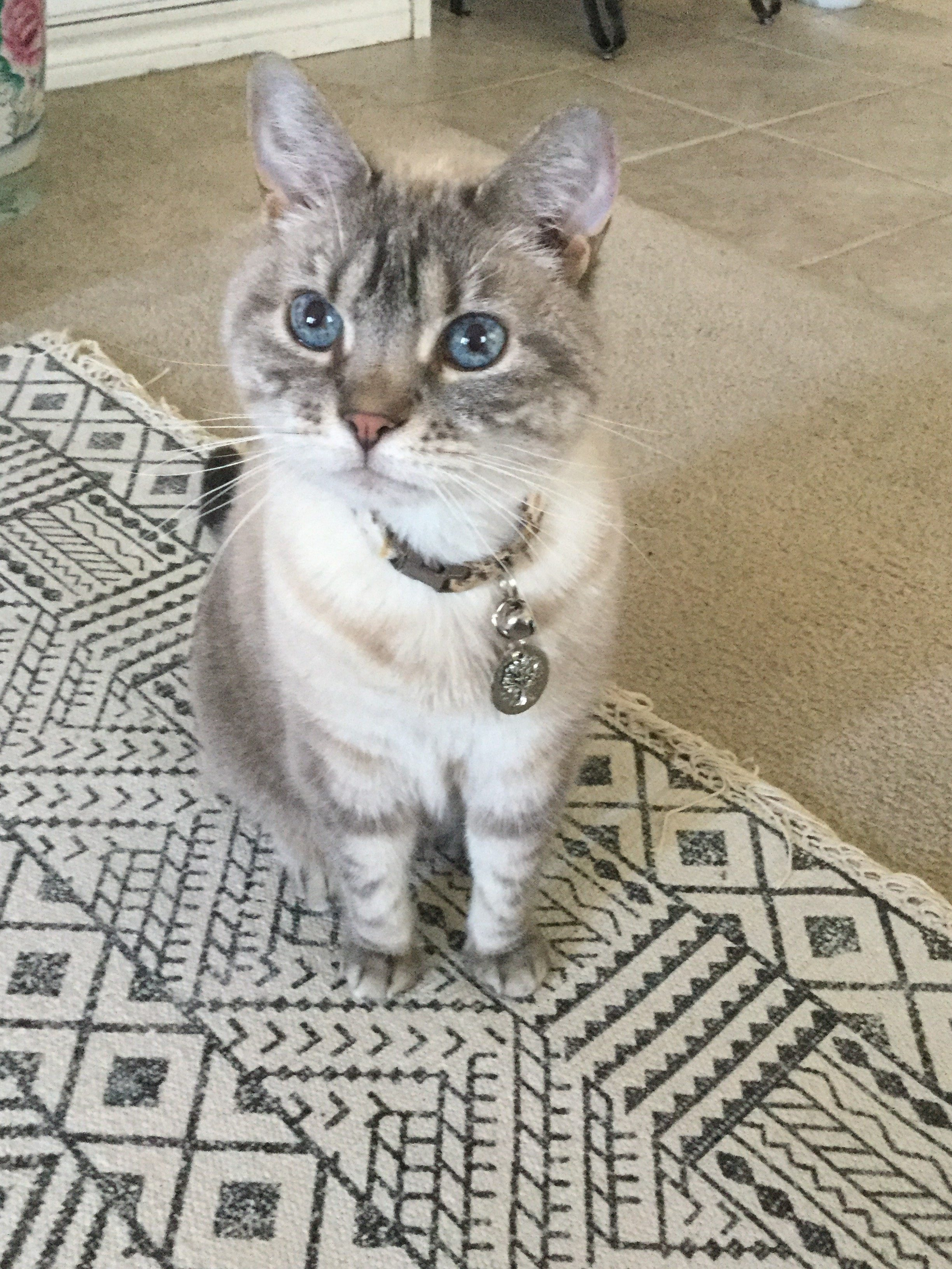 """A picture of a cat named """"Piper,"""" with white and grey fur."""