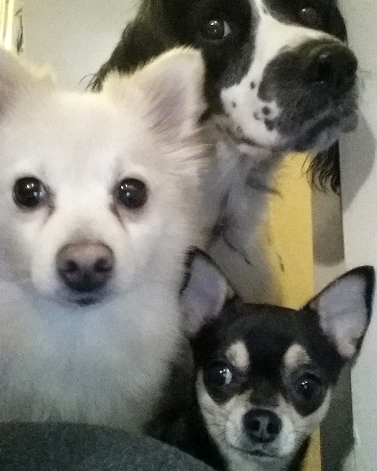 user contributor photo of three dogs looking at camera
