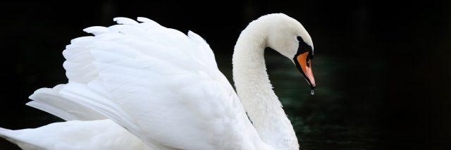 Swan in the lake.