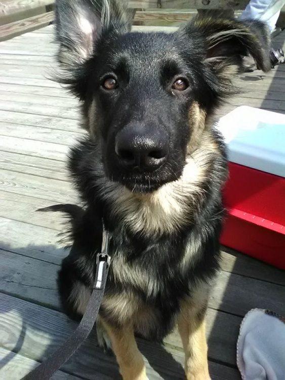 german shepherd service dog