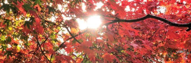 sunlight peeking through a red maple tree