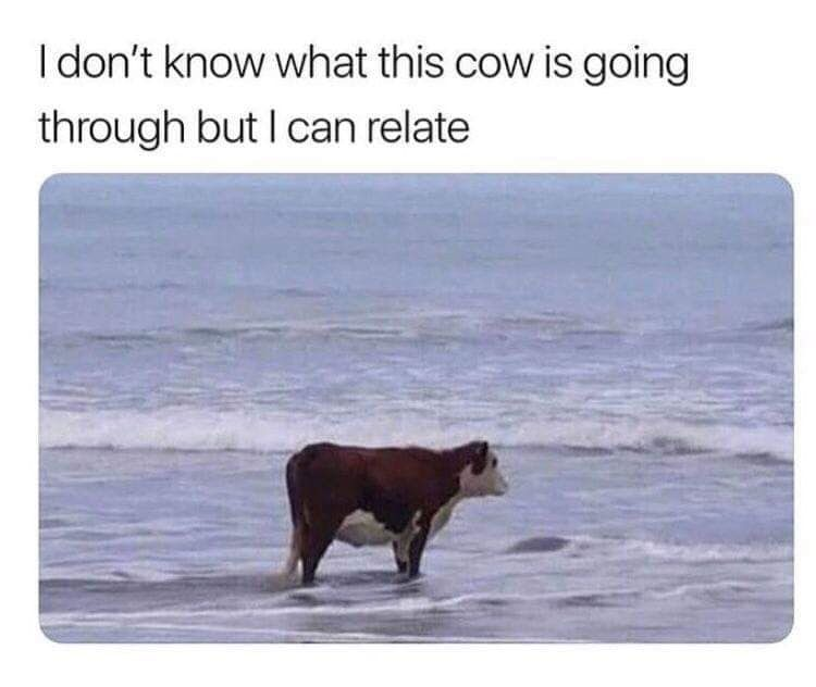 I don't know what this cow is going through but I can relate