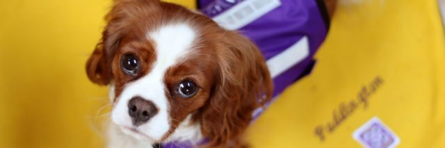 Paddington the Cavalier King Charles Spaniel wearing his purple service dog vest.