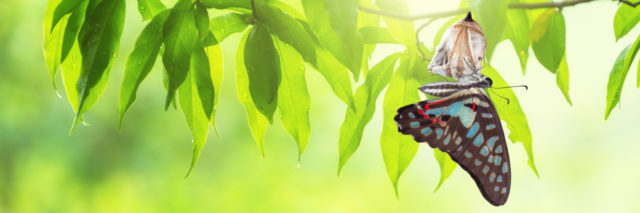 Butterfly emerging from chrysalis.