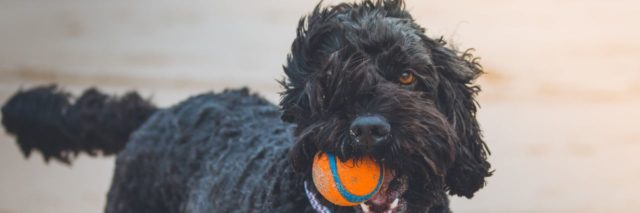 Black poodle with orange ball in mouth, blue collar on a beach